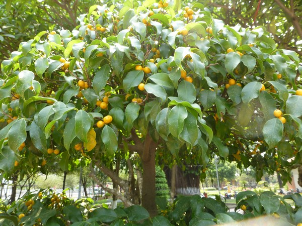 arbre-petites-oranges-hcmc
