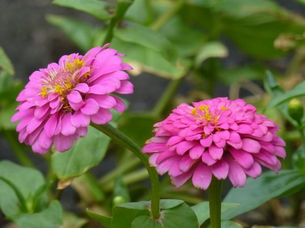 fleur-mauve