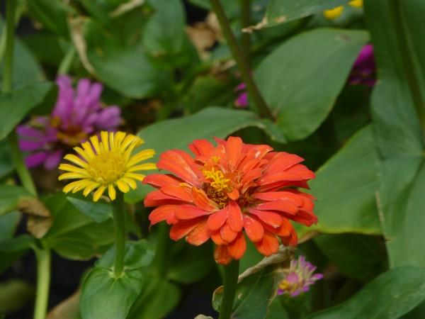 fleur-orange