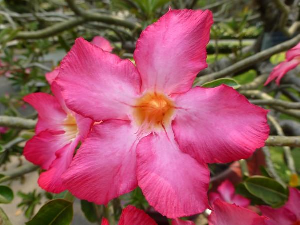 fleur-symbole-du-vietnam
