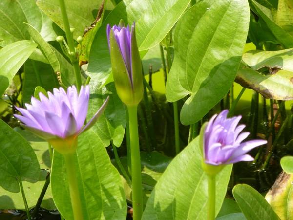 fleur-violette-2